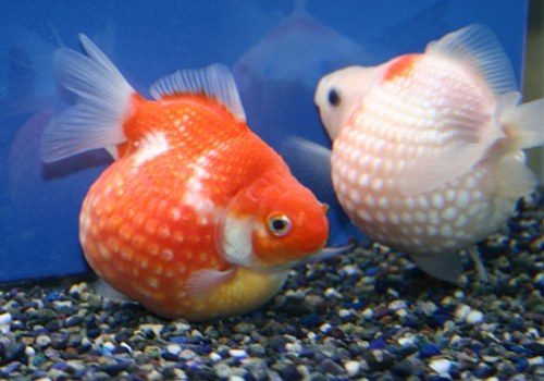 Pearlscale goldfish - photo#8