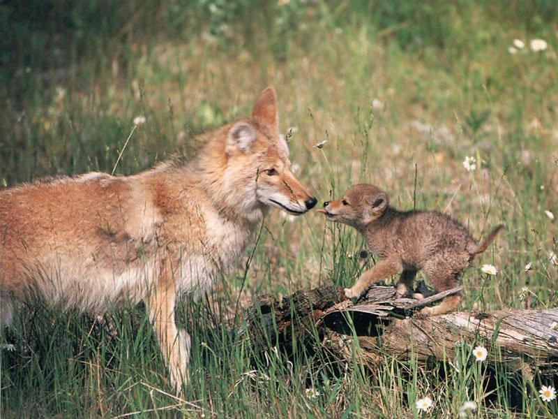animal coyote free wallpapers my style