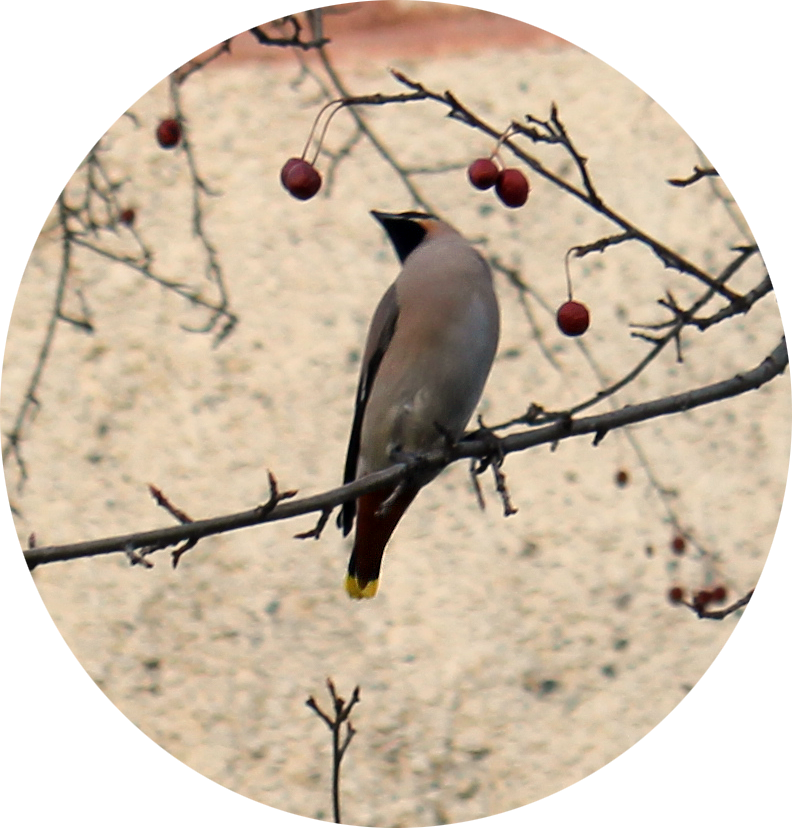 птица крупным планом - свиристель