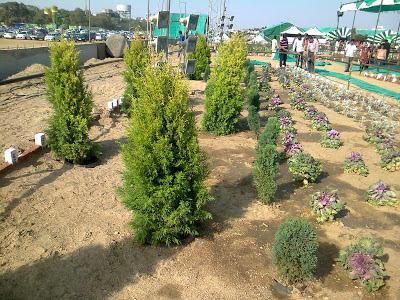 thuja plant