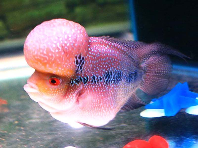 Flowerhorn the hybrid cichlids big head flowerhorn fish for Flower horn fish