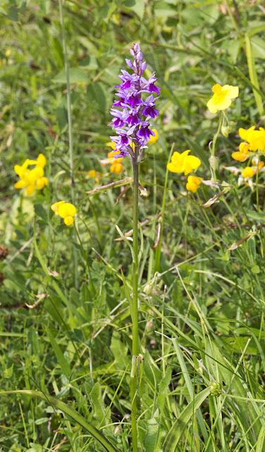 Common Spotted Orchid, Dactylorhiza fuchsii, var. rhodochila.  Downe Bank, 27 June 2015.