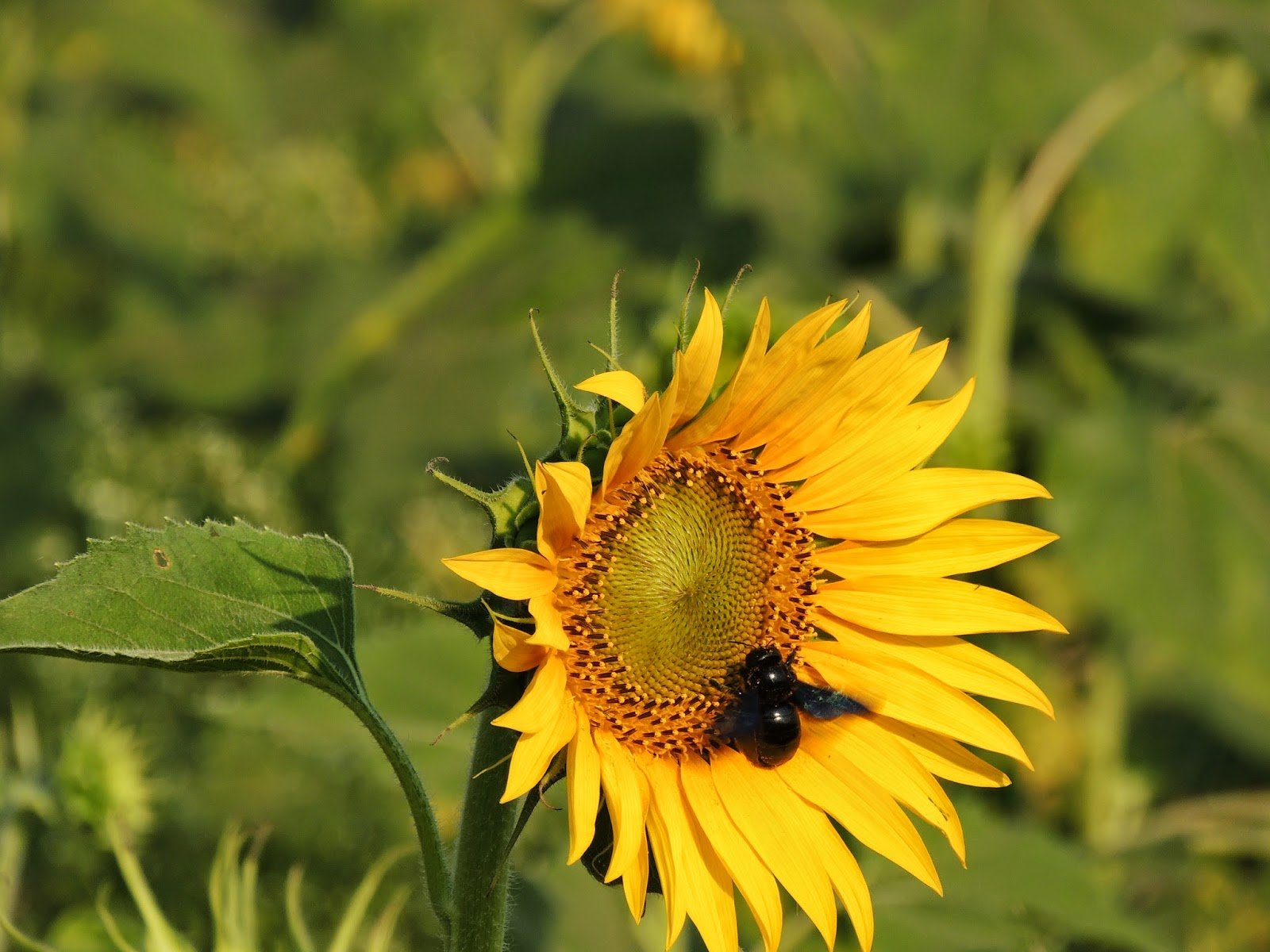 Sunflowers swarmed with bees