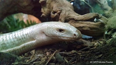 "Sheltopusik (Pseudopus apodus) or Scheltopusik,  the European Legless Lizard or ""Glass Snake."""