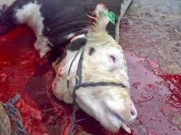 رؤية ذبح البقرة , ذبح البقرة في المنام See the cow slaughter