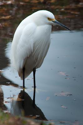 Snowy Egret, Centennial Park