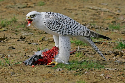 halcón gerifalte con presa capturada