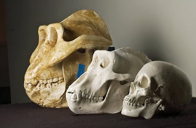 Gigantopithecus skull comparacion