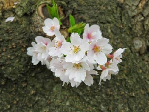 神田明神の桜11