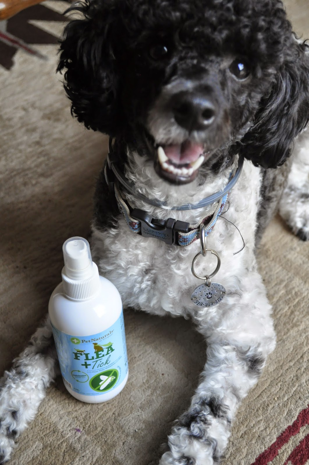minature poodle with Pet Naturals of Vermont Flea+Tick