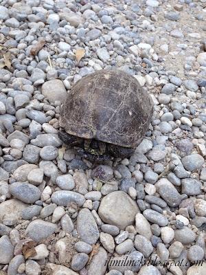 kara kaplumbağası