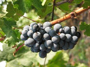 Inilah Khasiat Anggur Hitam Bagi Kesehatan