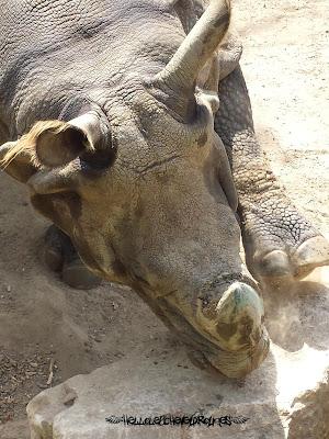 Rhinocéros qui pose sa patte avant sur un rocher à Touroparc