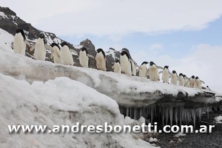 Pingüino de Adelia - Adélie Penguin - Antartida - Antartica - Andrés Bonetti