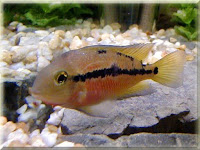 Nicaragua Cichlid Fish Pictures