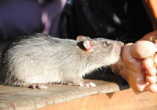 Hình 1: Chuột cắn chân người