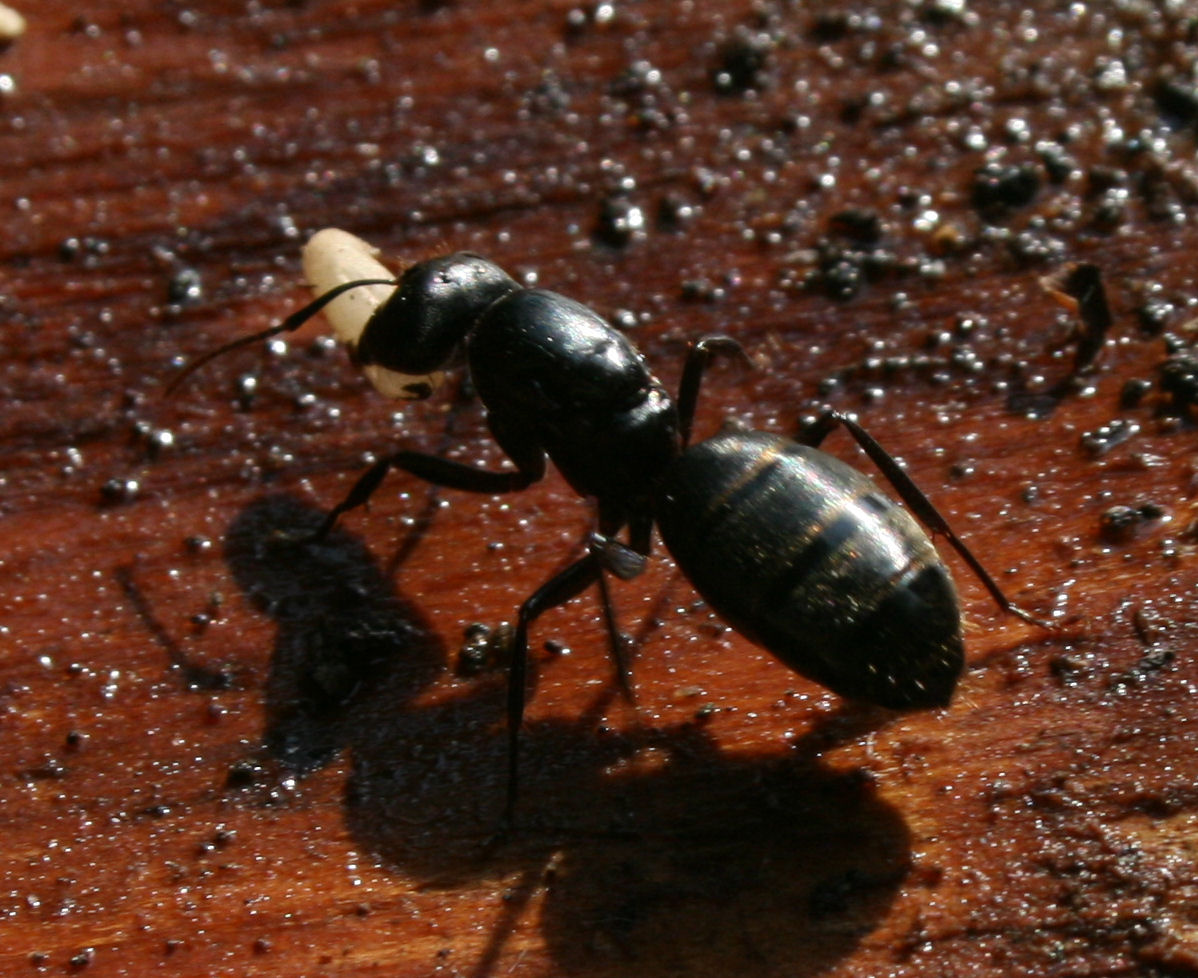 big black ant - photo #4