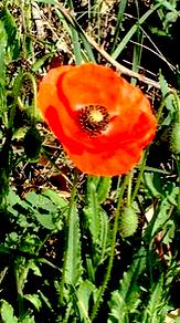http://fr.wikipedia.org/wiki/Pavot