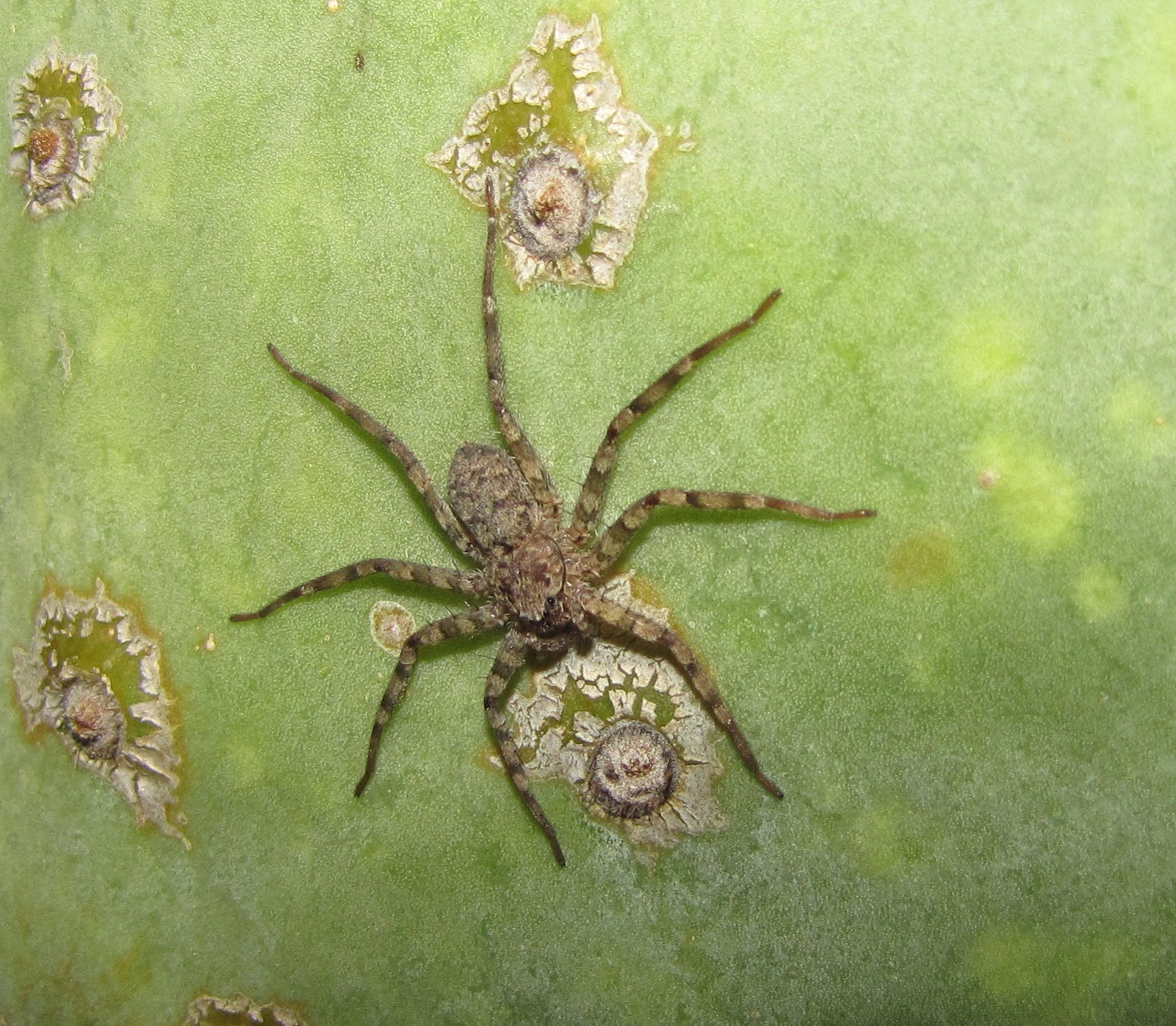 bug eric spider sunday flatties