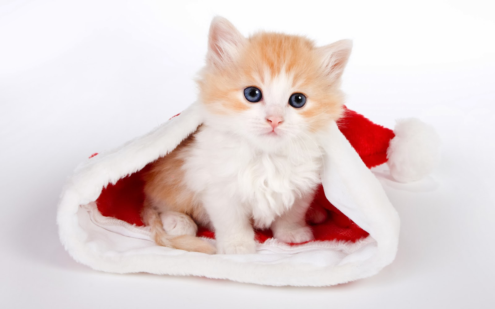 Visitors Can Download Free HD Cute Cat Wallpapers Of Their Own Choice By Following The Given Categories