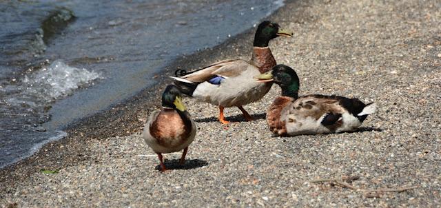 Bracciano Ducks