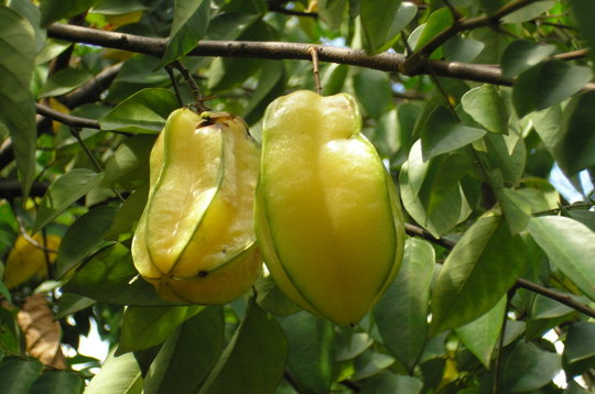 what is a fruit eating star fruit