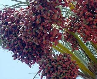 manfaat buah kurma dari sudut pandang medis dan kandungan vitamin buah kurma