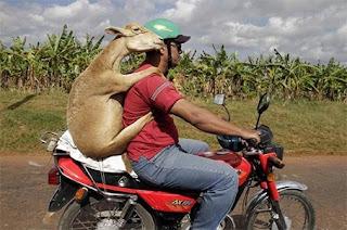 ေဒါက္တာဆိတ္ဖြား လြတ္ေျမာက္ရာသုိ႔ ေရာက္သြားၿပီ – Mr. Goat on the line of duty