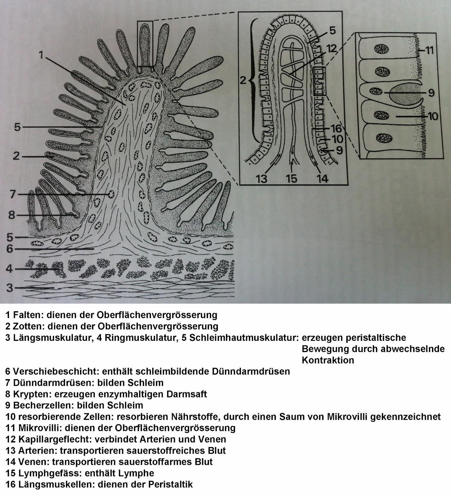 Auftrag 8: Mikroskopisches Präparat des Dünndarms | Darm & Co.