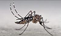 mosquito Aedes aegypti se multiplica mesmo sem chuva
