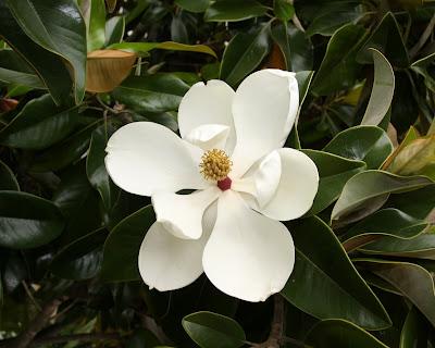 Magnolia Grandiflora White Flower