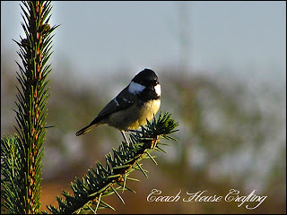great tit, garden birds, caithness birds
