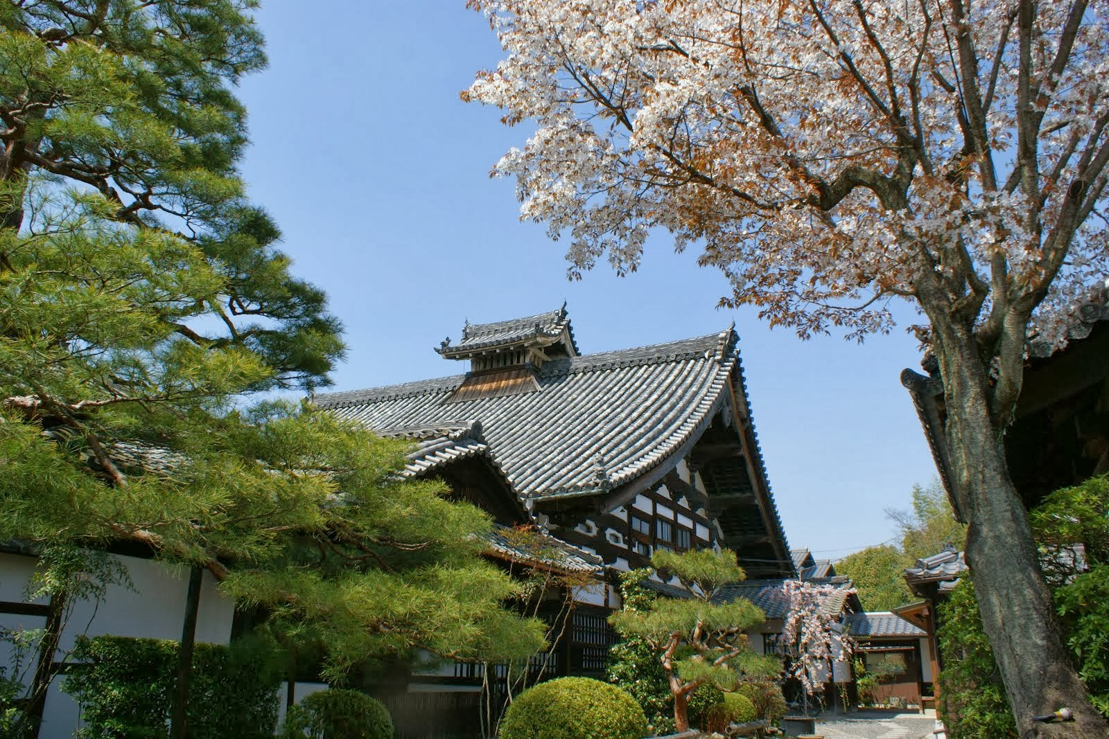 Cherry Blossoms at Shunkoin Temple