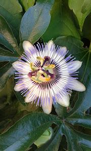 La passiflora (foto G. Tassinari)