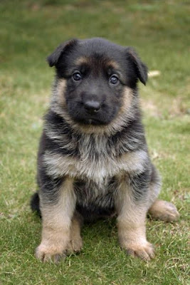 German Shepherd Puppy Picture