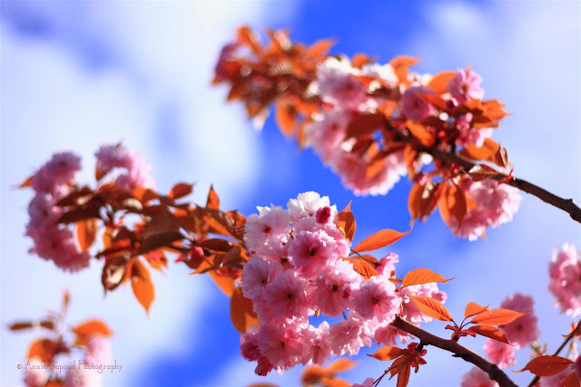 pink cherry blossoms, blue sky