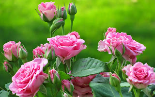 Pink Rose Flower Desktop Background