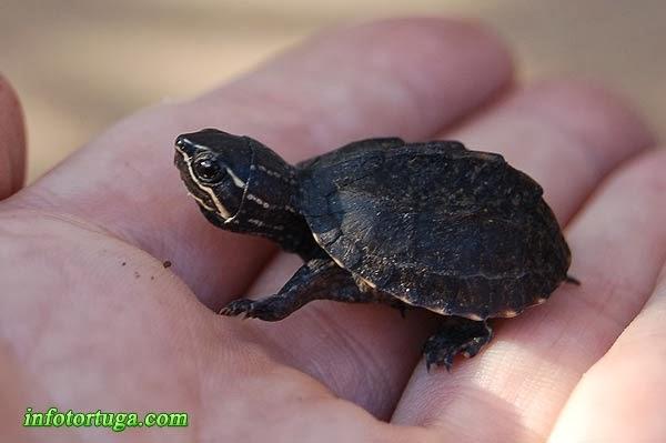 Sternotherus odoratus - Tortuga apestosa común