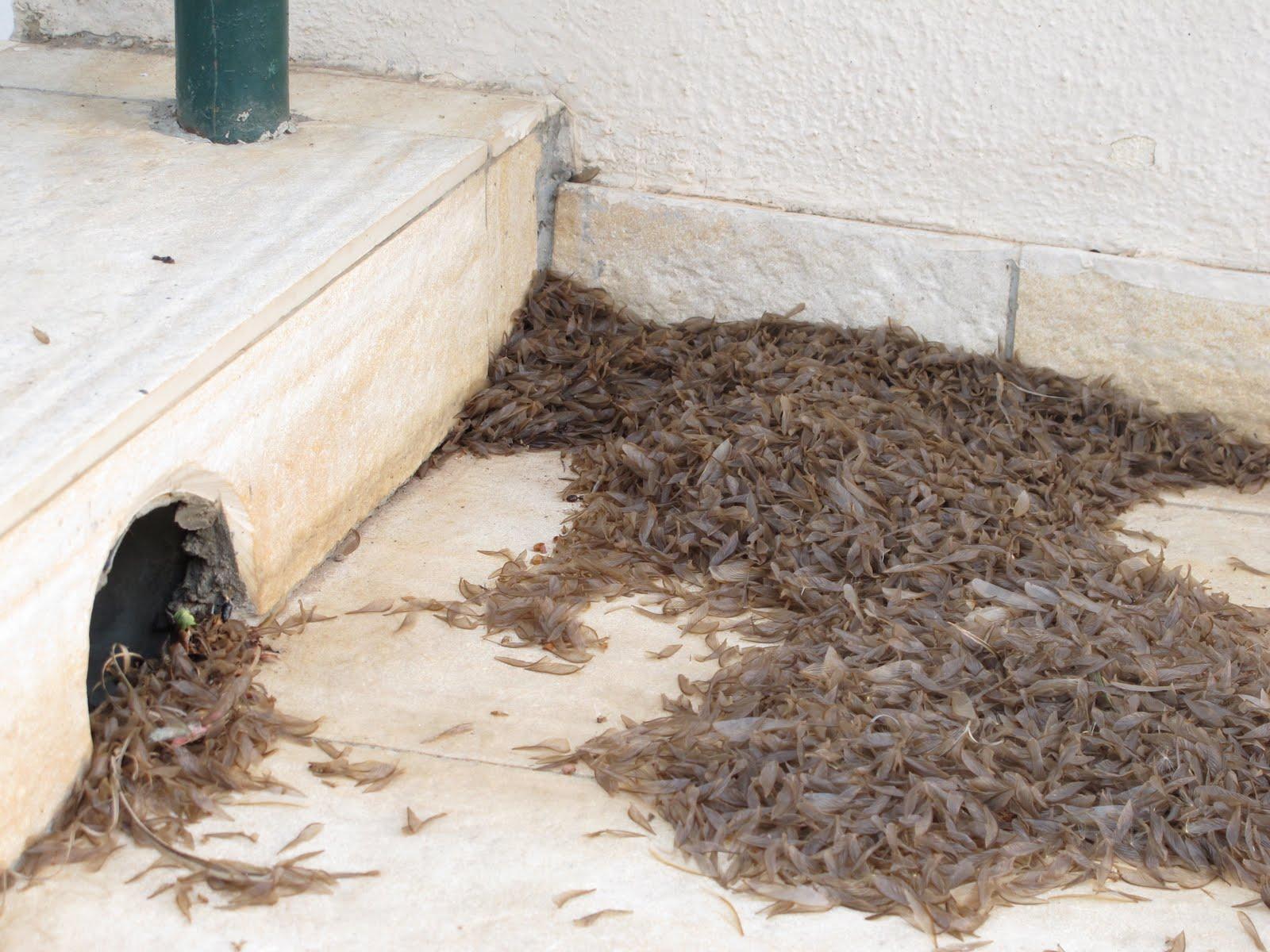 how to kill drain flies