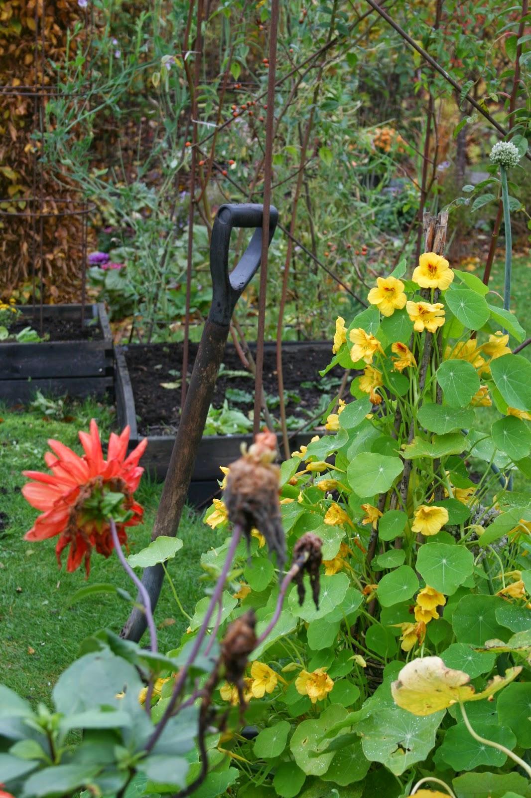 trädgårdsblogg klätterkrasse