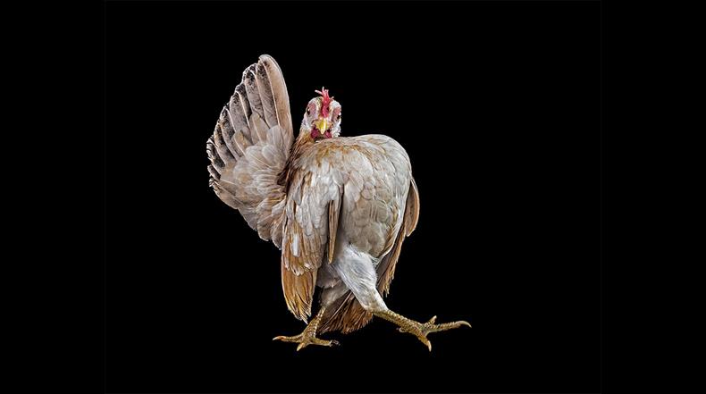 El extraño mundo del concursos de belleza de pollos fotografiado por Ernest Goh