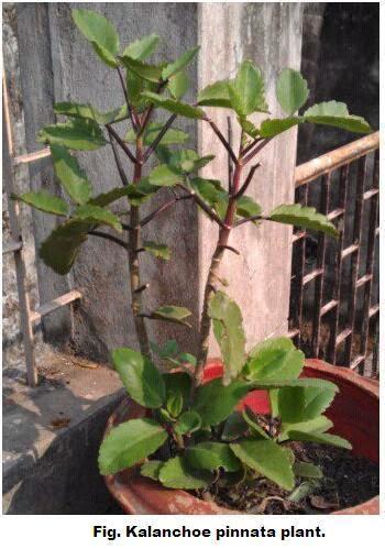 The Kalanchee pinnata plant