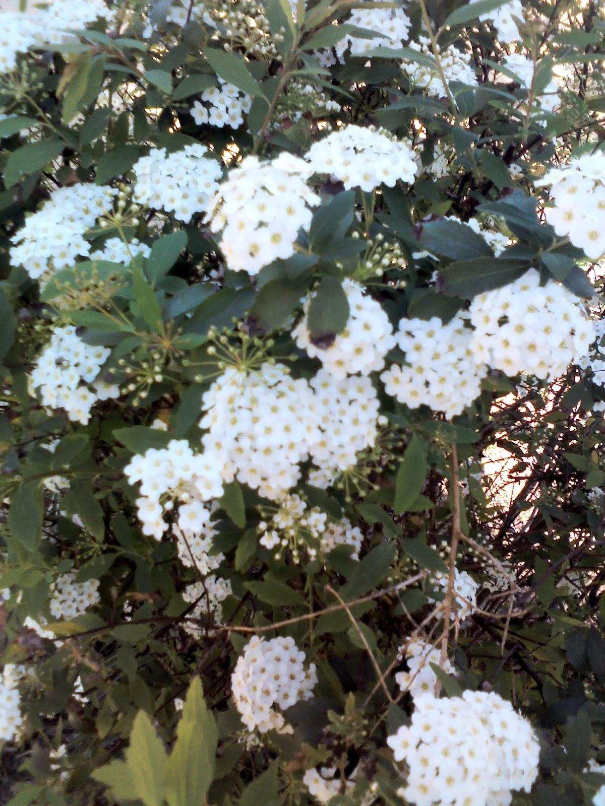 Primavera flores blancas