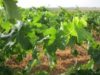 uvas ecológicas CUSPIDE