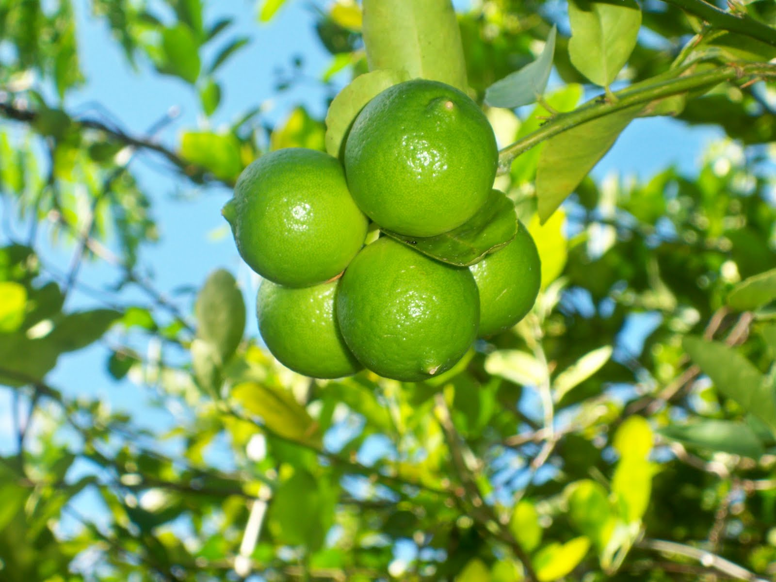 fruits that are green jamaican fruit