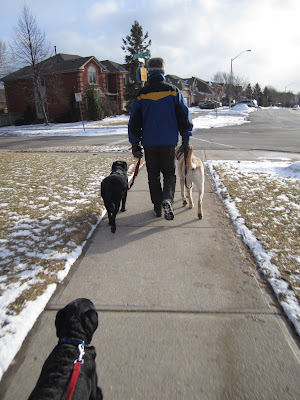 My dad and I are walking the three dogs down the sidewalk in a residential area, approaching a small street crossing. My dad is several feet ahead, decked out in winter gear (though there is only a dusting of snow left on the ground) and wearing a blue winter jacket. Black lab Dallas is on his left, and big yellow lab Baloo is on his right. Black lab puppy Romero is walking with me, just his head and front legs (and red leash) are visible at the bottom of the picture as we follow behind the big dogs. All the dogs are trotting happily with their tails wagging.