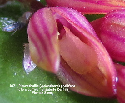 Acianthera prolifera do blogdabeteorquideas
