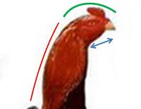 kepala ayam bangkok aduan bagus