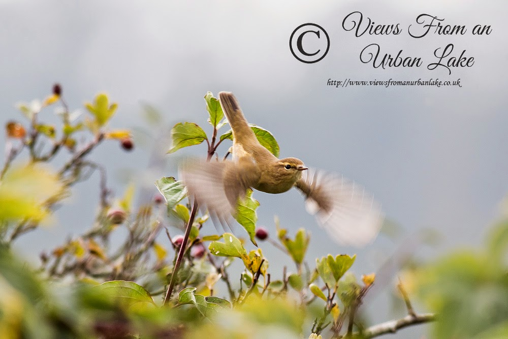 Common Chiffchaff (just taking flight) - Wolverton Mill, Milton Keynes