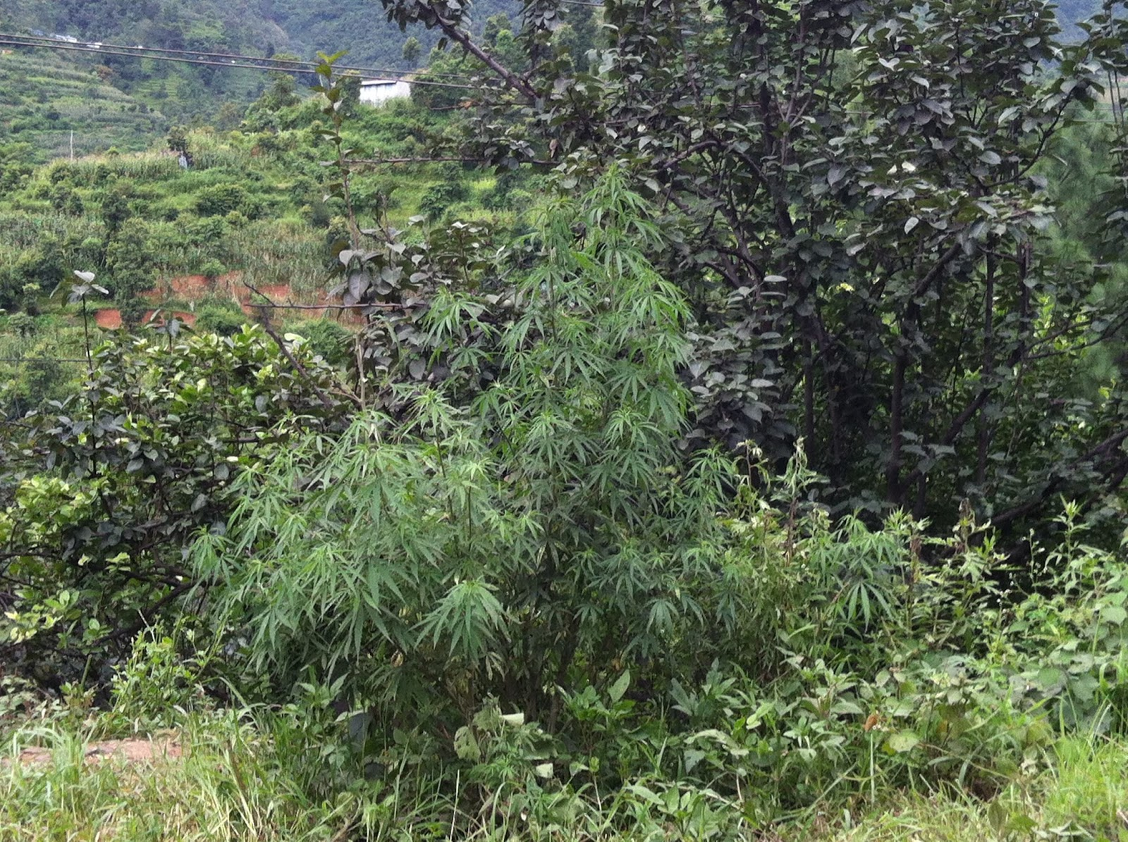 Best Weed In The World Marijuana grows naturally in